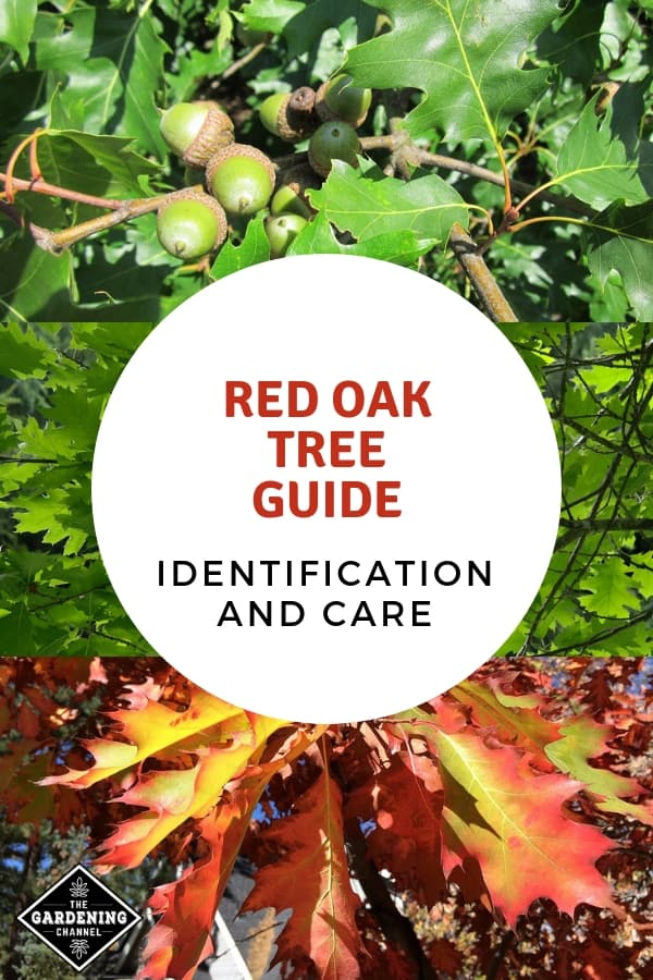 red oak acorns leaves and red autumn leaves with text overlay red oak tree guide identification and care