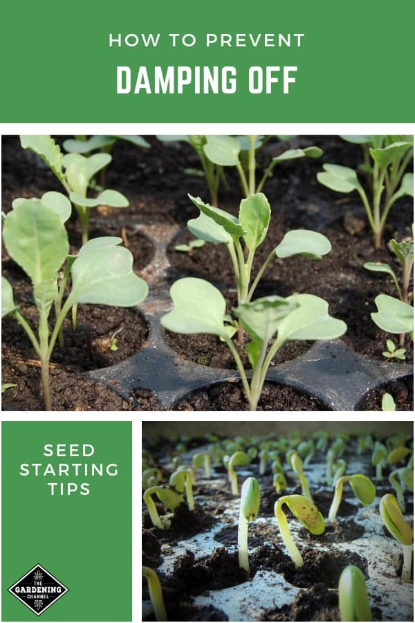 cabbage seedlings and seedlings in tray with text overlay how to prevent damping off seed starting tips