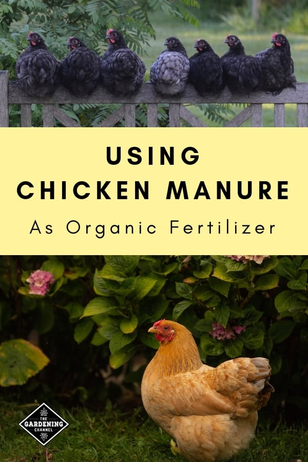 chickens on garden fence and chicken hydrangea with text overlay using chicken manure as organic fertilizer
