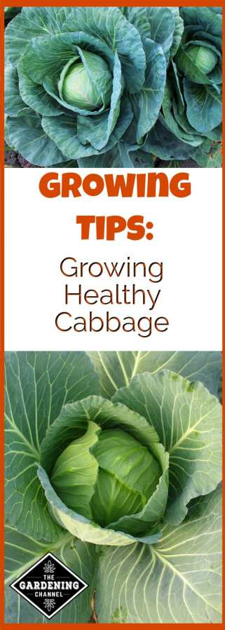 how to grow healthy cabbage
