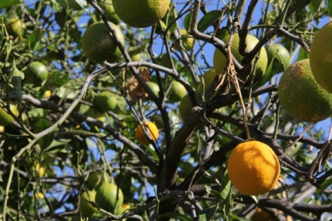 Common Diseases in Orange Trees