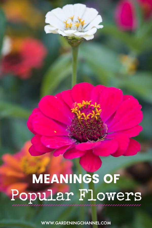 zinnias in garden with text overlay meanings of popular flowers