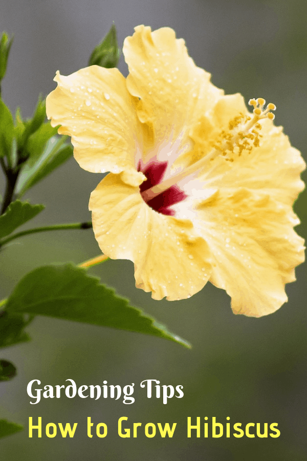 yellow hibiscus growing with text overlay gardening tips how to grow hibiscus