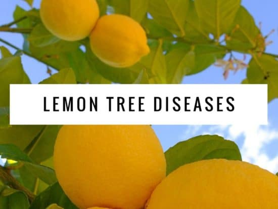 Common Diseases of Lemon Trees