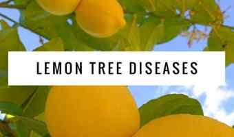 Common Diseases of Lemon Trees