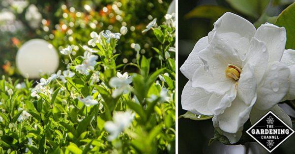How to grow gardenia flowers gardening channel how to grow gardenia flowers mightylinksfo