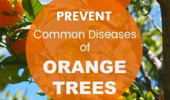 orange tree with text overlay prevent common diseases of orange trees
