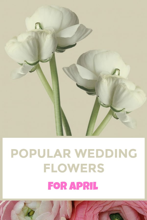 white and pink Ranunculus with text overlay popular wedding flowers for april
