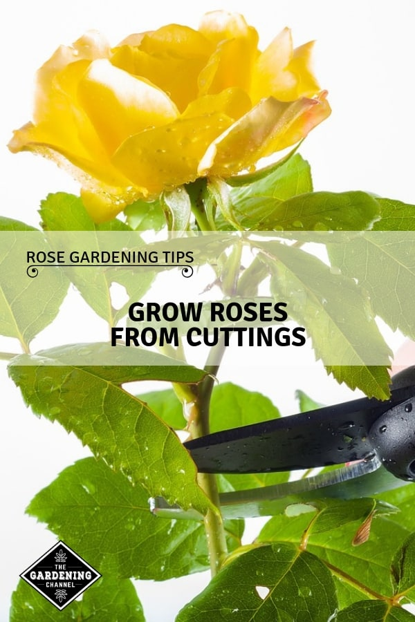 roes clipping with text overlay rose gardening tips grow roses from cuttings