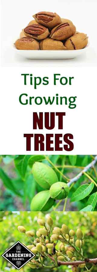 Tips for Growing Nut Trees