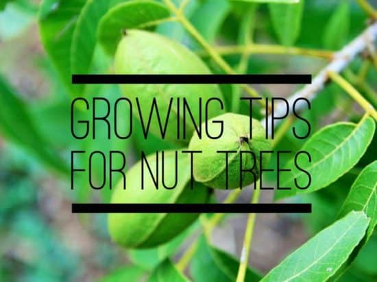 How to Grow Nut Trees