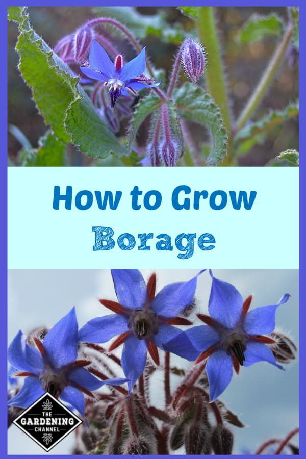 borage leaves and flowers and close up of borage flowers with text overlay how to grow borage