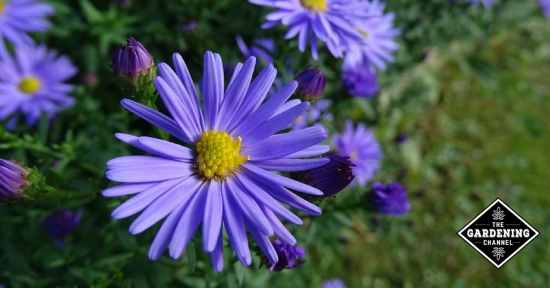 How to grow Asters