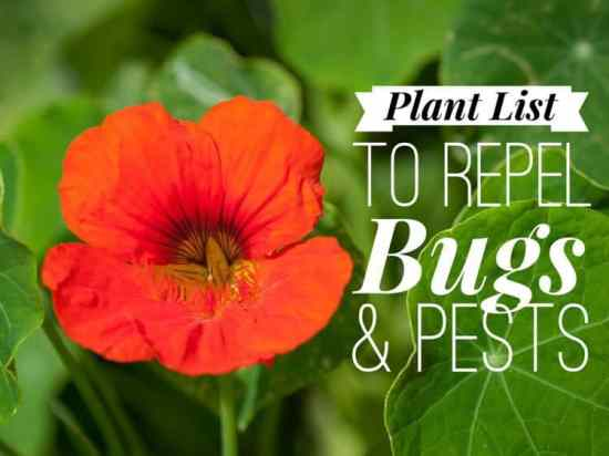 Plants that Repel Bugs and Pests in the Garden
