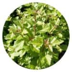 alpine currant hedge