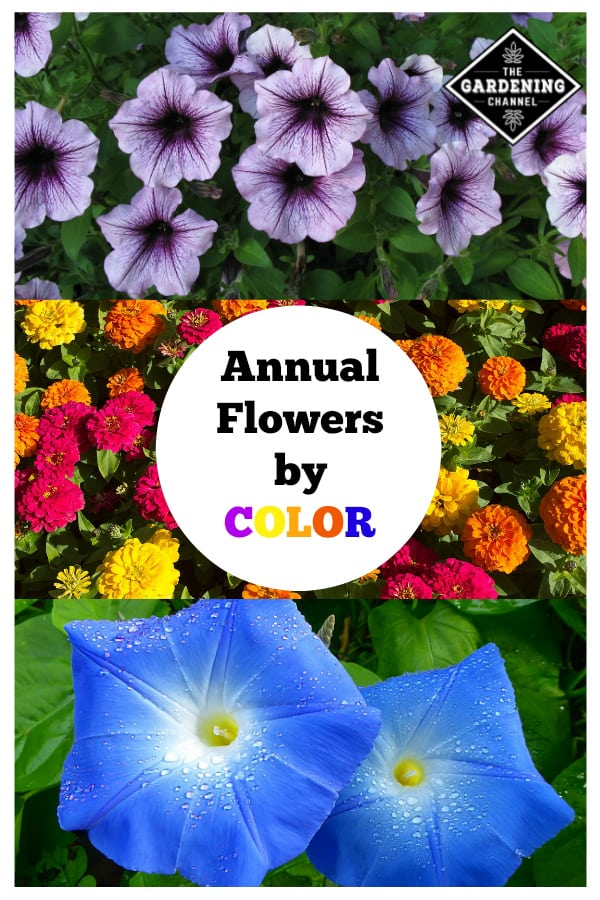 purple petunias zinnias and blue annuals with text overlay annual flowers by color