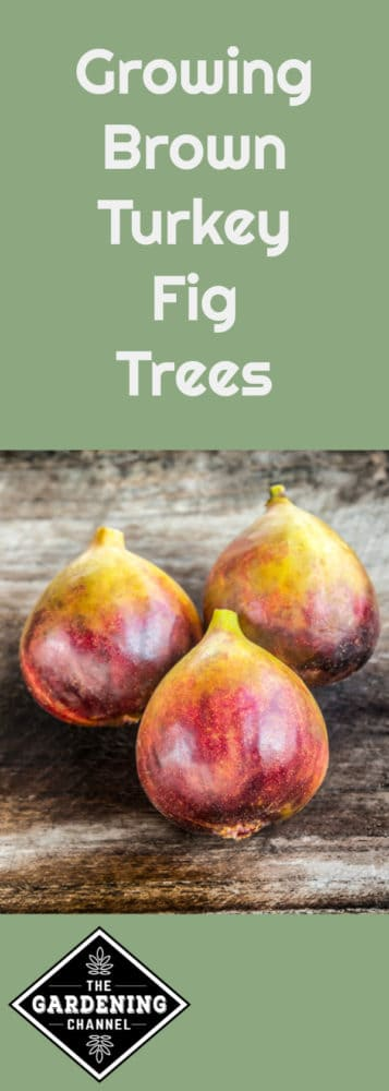 three brown turkey figs with text overlay growing brown turkey fig trees