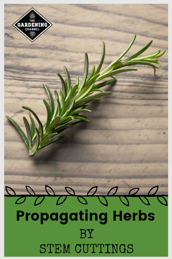 rosemary stem cuttings with text overlay propagating herbs by stem cuttings
