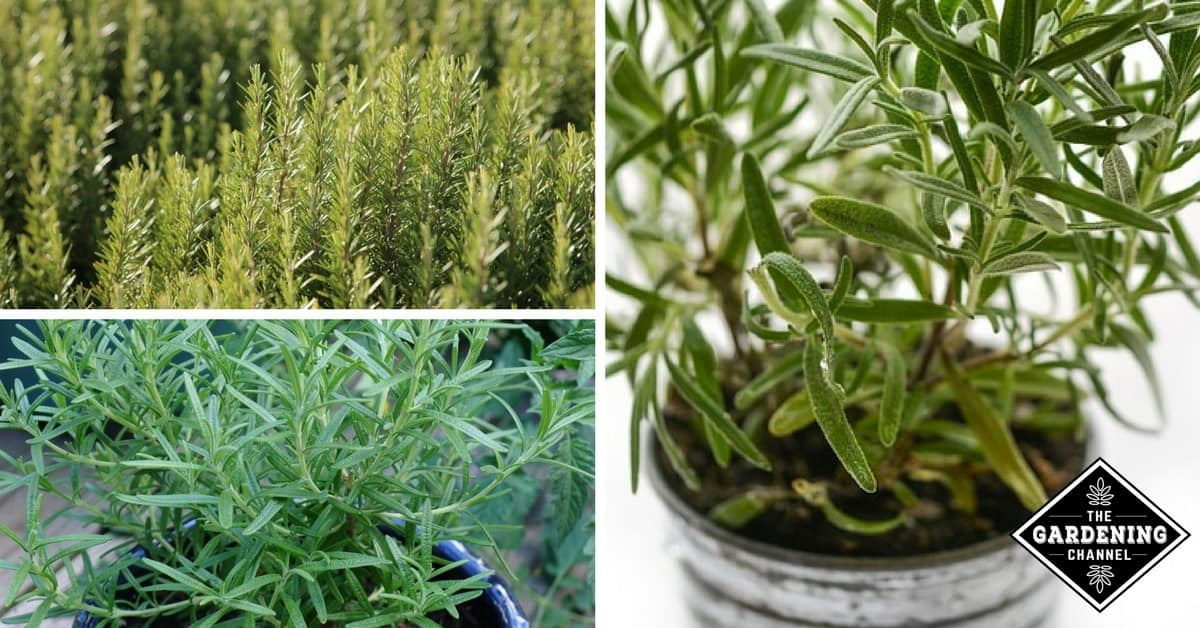 How To Grow Rosemary Herbs At Home Gardening Channel