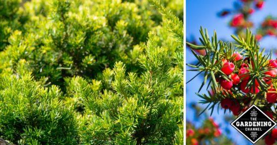 Japanese yew