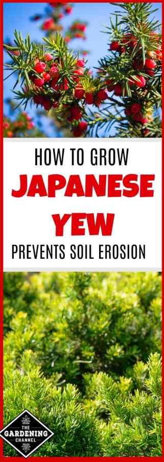 grow japanese yew