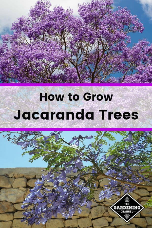 jacaranda tree and jacaranda blossoms with text overlay how to grow jacaranda trees