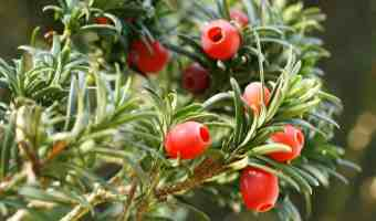 How to Grow Japanese Yew Shrubs