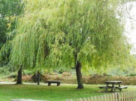 weeping willow