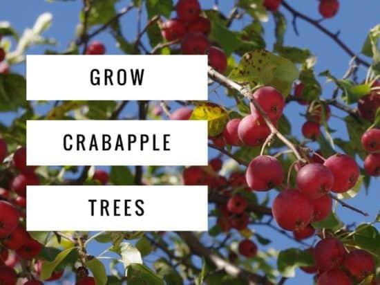 Growing Crabapple Trees