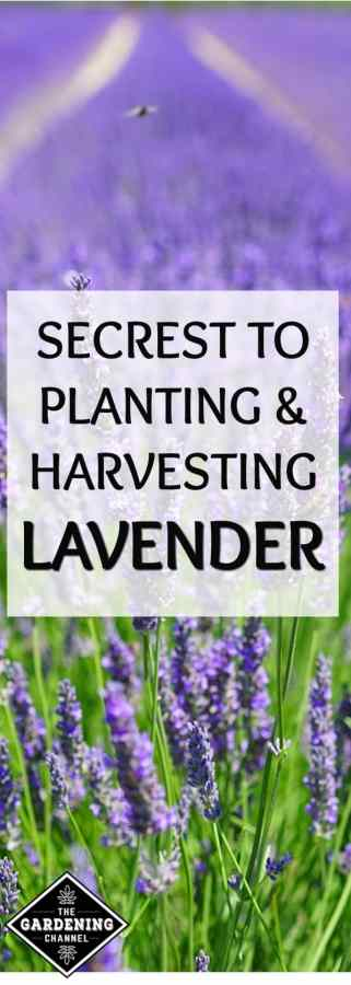 secrets to planting and harvesting lavender