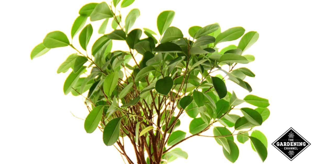 How To Grow Ficus Trees Gardening Channel
