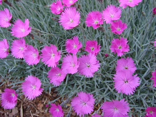 How To Grow Pinks Dianthus Gardening Channel