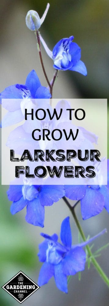 Blue larkspur flowers closeup with text overlay how to grow larkspur flowers