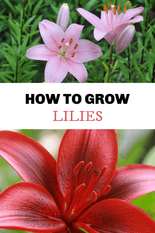 pink lily and red lily with text overlay how to grow lilies