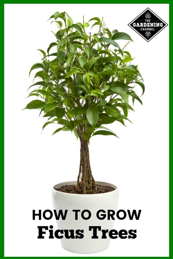 ficus tree with text overlay how to grow ficus trees
