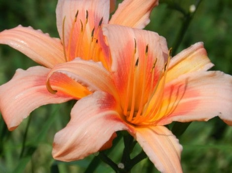 daylily-grow