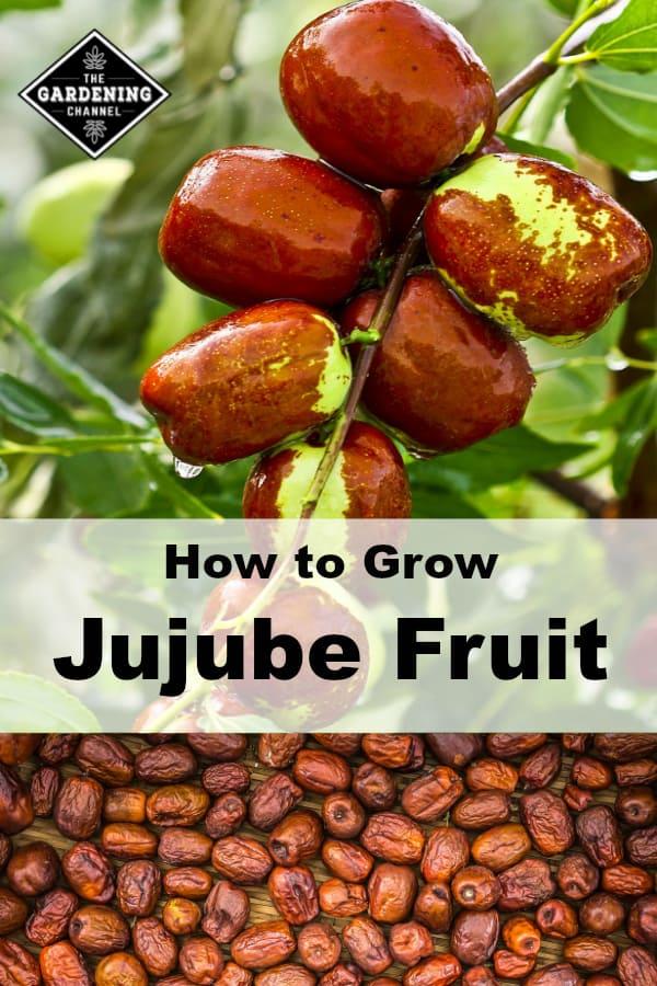 jujube tree with harvested jujube frut with text overlay how to grow jujube fruit