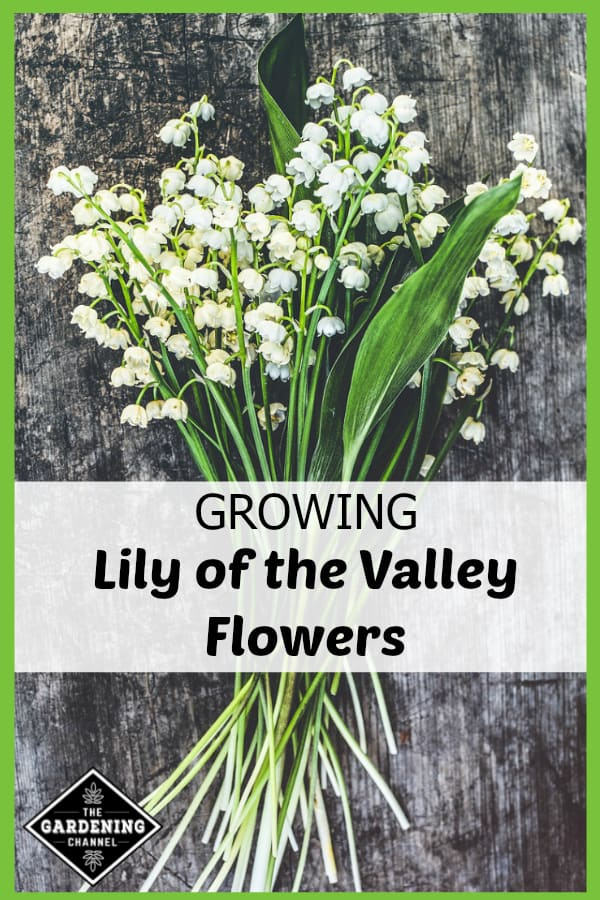harvested lily of valley with text overlay growing lily of the valley flowers