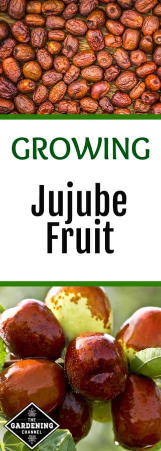 growing jujube fruit