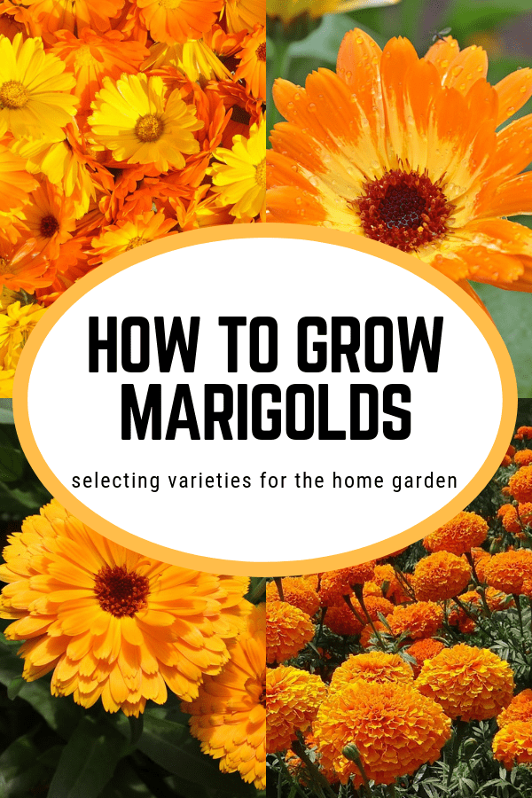 four marigold varieties with text overlay how to grow marigolds selecting varieties for the home garden