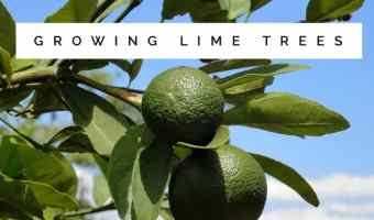 Growing Tips for Lime Trees
