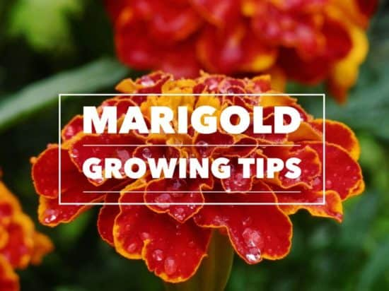how to grow marigolds indoors