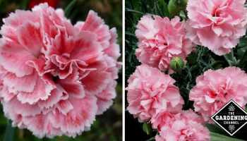 How to grow pinks dianthus gardening channel how to grow carnations mightylinksfo