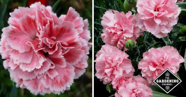 single pink carnation flower and carnation plant in garden