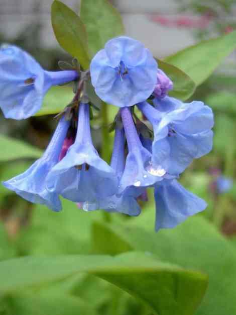 bluebells-grow