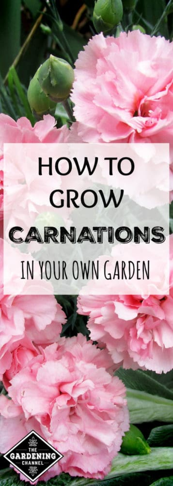 close up pink carnation flowers with overlay text how to grow carnations in your own garden