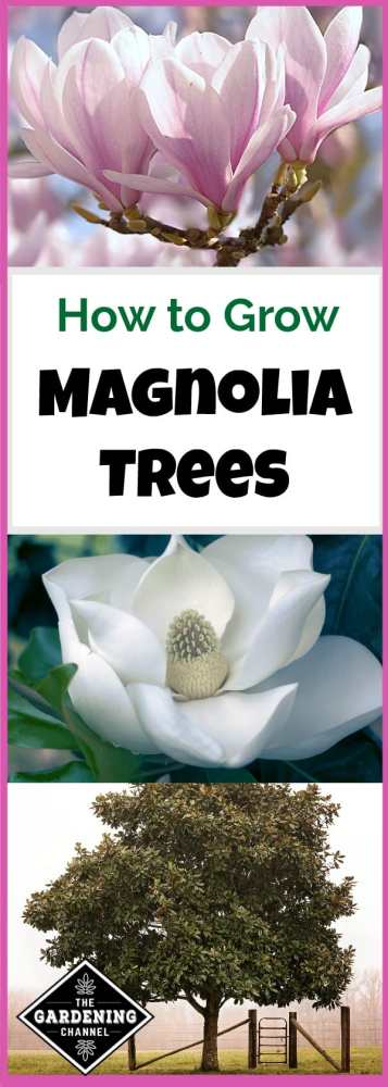 growing magnolia trees
