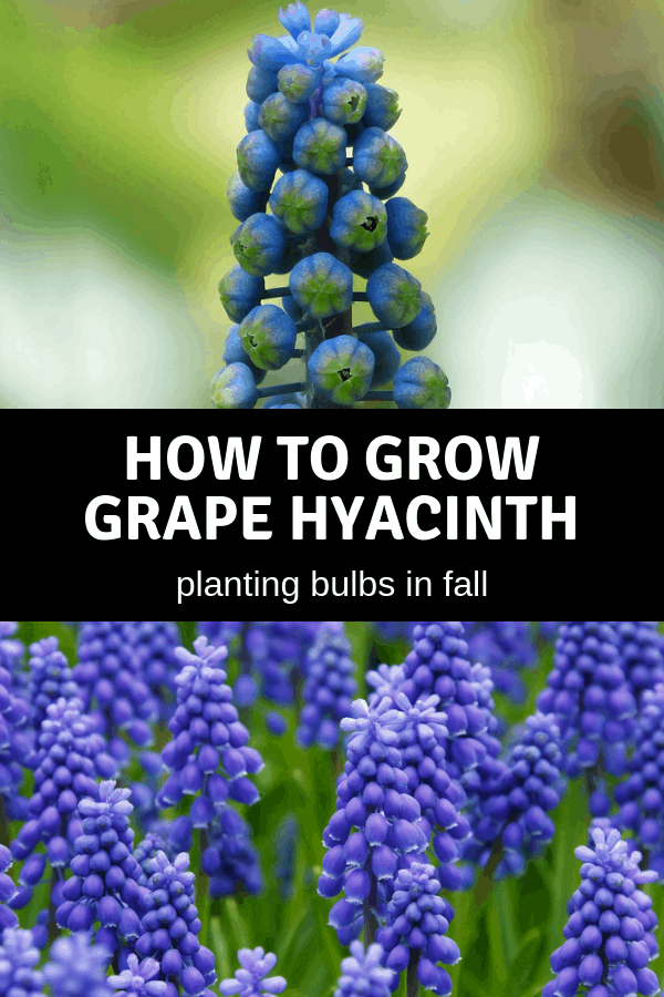 grape hyacinth blooming and growing in garden with text overlay how to grow grape hyancinth planting bulbs in fall