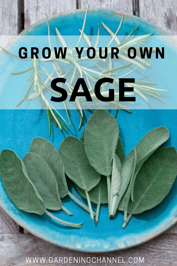 sage and rosemary harvest with text overlay grow your own sage