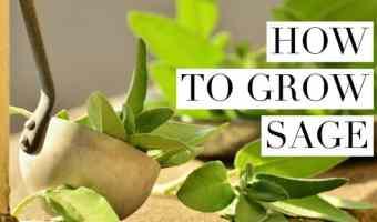 Sage Growing Tips